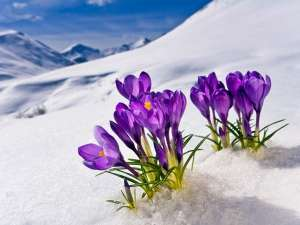 flowers-in-snow-1